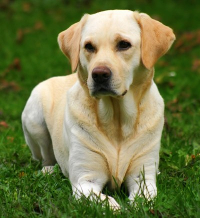Labrador-Retriever- Golden